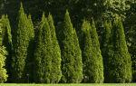 Выращивание дерева Туя