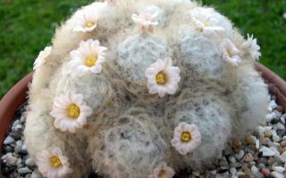 Белые и пушистые: 5 видов кактусов