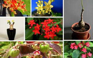 Экзотическая Ятрофа: 5 видов, прижившихся в домашних коллекциях с фото