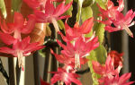 Цветок декабрист: популярные сорта и секреты ухода в  домашних условиях