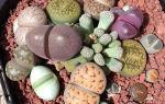 Литопсы: описания сортов с фото и секреты ухода за живыми камнями