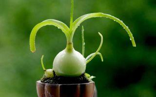 Индийский лук — главный помощник в лечении суставов