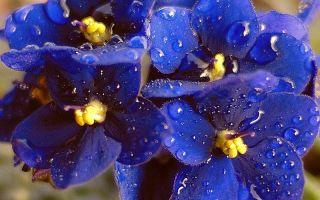 Цвет настроенья: 6 комнатных растений, которые цветут синим