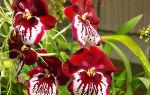 9 поводов влюбиться в орхидею Мильтонию и уход в домашних условиях