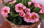 5 процедур, которые любят комнатные примулы и в благодарность начинают пышно цвести