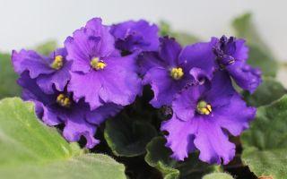 Цветки и листья фиалки поменяли цвет: что является причиной и как все исправить