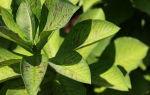 Синадениум: 5 простых правил по уходу за деревом любви