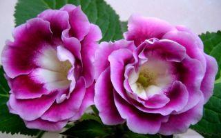 Глоксиния из семян в домашних условиях – 6 простых правил
