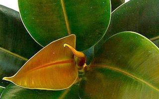 Фикус Абиджан – три условия успешного выращивания