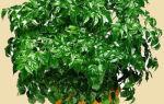 Выращивание радермахеры в домашних условиях, фото