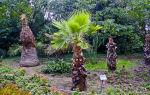 Трахикарпус: самая необычная пальма