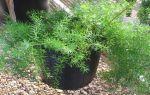 6 комнатных растений, которые легко заменят новогоднюю елку