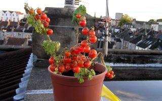 10 низкорослых томатов, которым будут комфортно даже на маленьком подоконнике