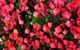 Бувардия: основные виды и тонкости выращивания