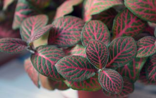 5 удивительных растений с розовыми листьями, которые будут радовать глаз круглый год