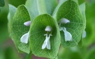 6 удивительных комнатных растений с зелеными цветами