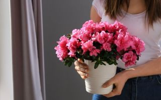 Подарили цветок в горшке: рано радоваться — по приметам это дурной знак