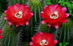 7 хитростей в уходе за кактусом, чтобы он расцвел