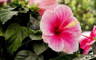 Комнатные цветы, которые могут менять цвет