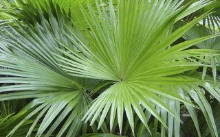 Пальма ливистона: особенности выращивания в домашних условиях