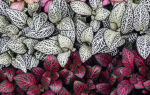 Фиттония, фото и секреты выращивания