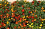 Самые красивые пышнорастущие цветы для участка