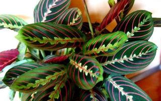 Как вырастить дома маранту трехцветную — молитвенное растение, фото