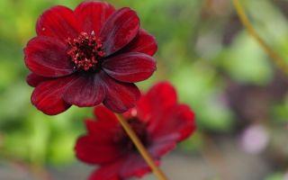 8 цветов, которые пахнут шоколадом и другими сладостями