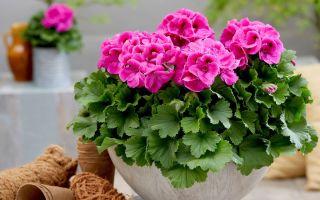 Приметы о герани: почему семейным парам стоит выращивать пеларгонию в спальне