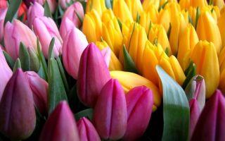 Тюльпаны: выращивание, посадка и уход, подкормка, размножение, фото, сорта, названия