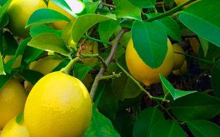 Выращивание лимона из косточки в домашних условиях: так ли это сложно?