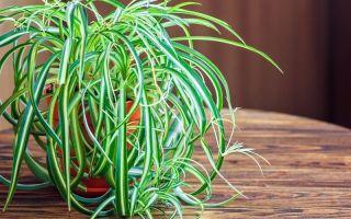 7 проблем выращивания хлорофитума, из-за которых растение может погибнуть