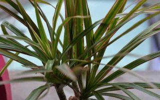 6 ошибок цветовода, из-за которых драцена может погибнуть