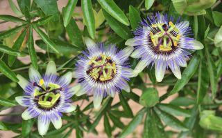 Пассифлора: особенности выращивания в домашних условиях