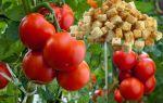 Такого урожая у вас еще не было: как при помощи сухарей получить небывалый урожай помидоров