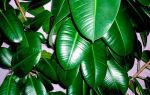 5 доступных средств, которые сделают листья комнатных растений глянцевыми