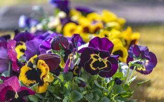 Как пересадить виолу из кашпо в цветник для бурного цветения весной