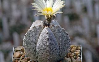 Астрофитум мириостигма – экзотический любимец, виды и фото