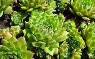 Обычное растение, необычные факты: молодило, 31 фото