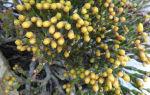 Хатиора: виды растения и особенности ухода в домашних условиях