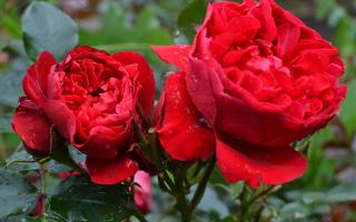 4 сорта роз для сада, которые переживут даже сибирские морозы