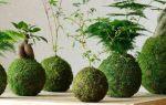 Кокэдама: японский метод, которые позволит вырастить цветок без горшка