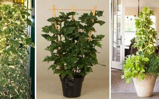 Как выращивать фастхедеру дома