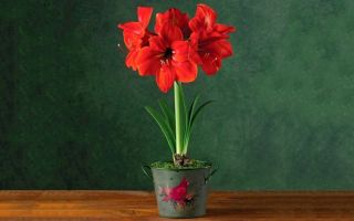 Комнатные цветы, которые выглядят как уменьшенная копия садовых растений