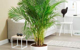 7 комнатных пальм, за которыми совершенно несложно ухаживать