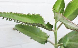 4 причины, из-за которых каланхоэ отказывается цвести и лишь вытягивается вверх