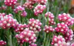 Кошачья лапка (Антеннария) — одно из самых неприхотливых цветков: фото, виды