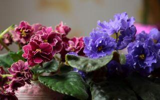 10 причин, почему фиалки больше не цветут
