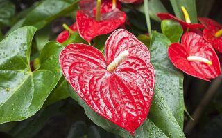 С намеком на любовь: 5 домашних цветов с листьями в форме сердца