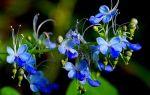 Клеродендрум Угандийский – голубые бабочки дома